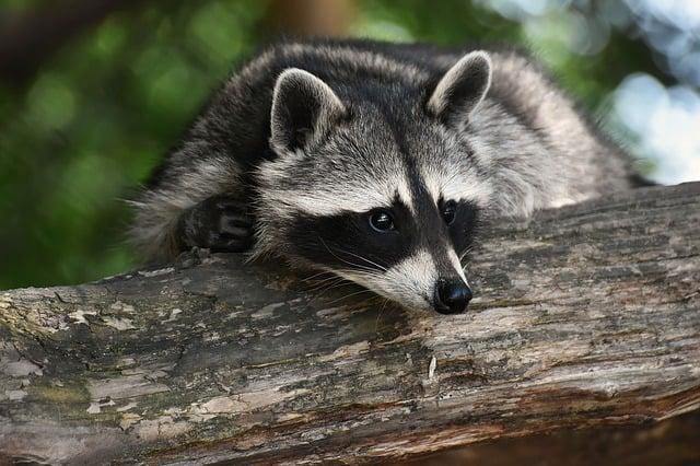 Best Raccoon Traps