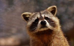 Best Raccoon Bait
