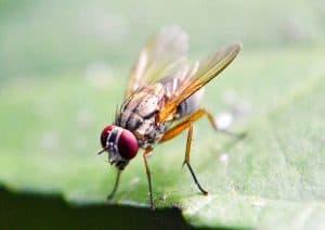 How Long Do Fruit Flies Live