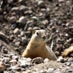 Gopher in a hole