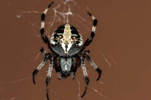 Do Spiders Have Lungs?