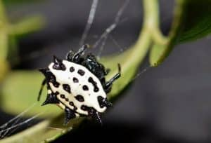 Are Spiny Orb-Weaver Spiders Poisonous?