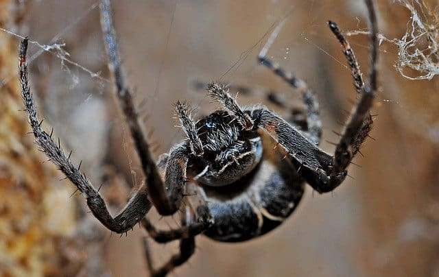 How Venomous is a Black Spider with White Dots?