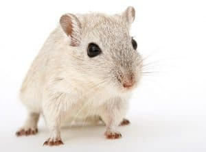 Pros and Cons of Using Glue Traps for Mice